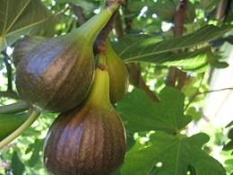 Φυτά_Καρποφόρα_Ficus_Συκιά μαύρη_260x240